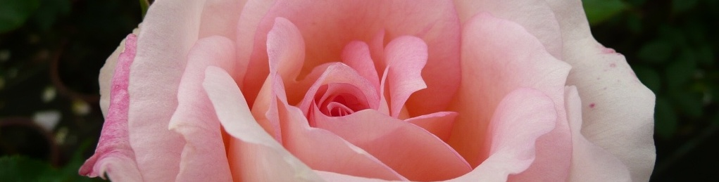 Rose Amaretto