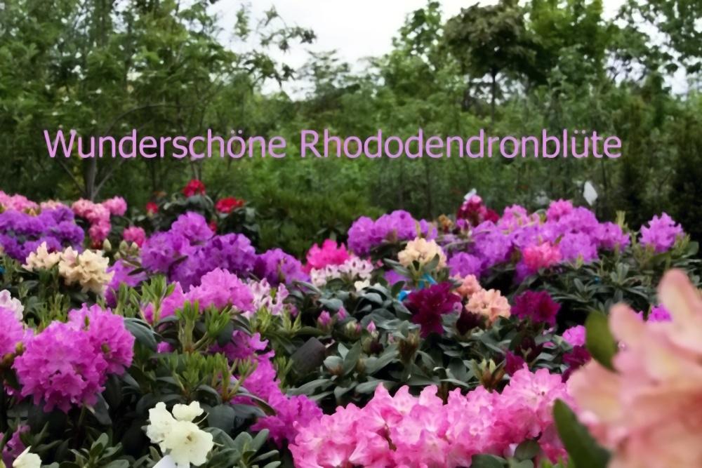 Rhododendron im Einschlag
