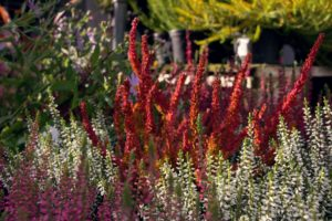 Heide und Ihre Farben