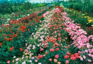 Rosenfeld 1992
