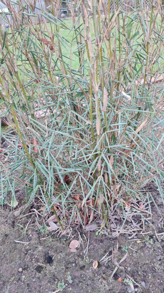 Fargesia murielae (Sorte) im Sommer gepflanzt. Eingerollte Blätter, Schutz gegen die Sonneneinstrahlung Eigenschutz