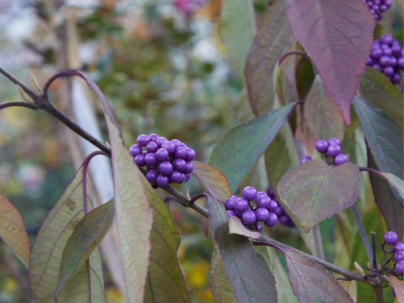 Herbstplfanze-03